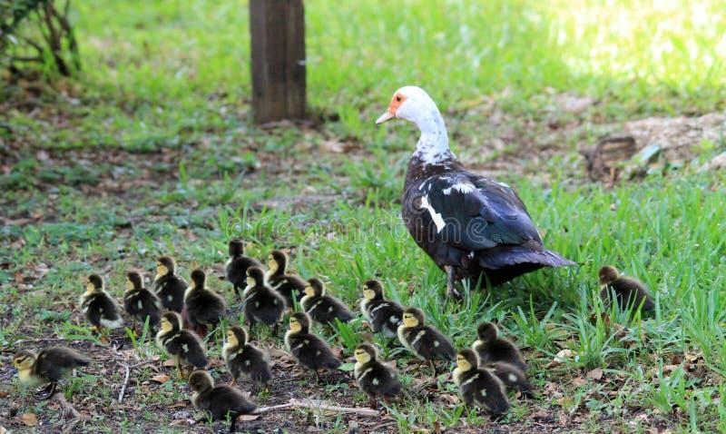 And och ducklings arkivbilder