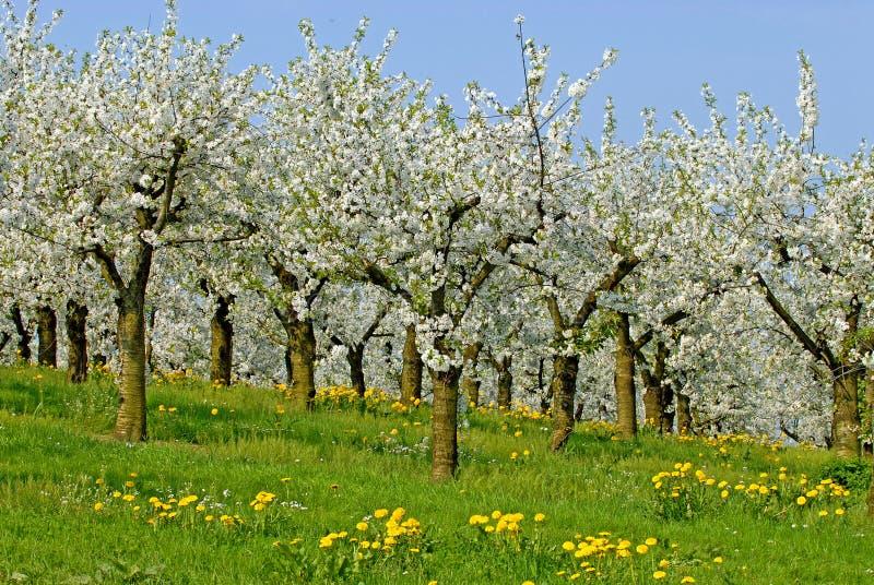 Download Ochard in blossom stock photo. Image of blossom, spring - 26446576