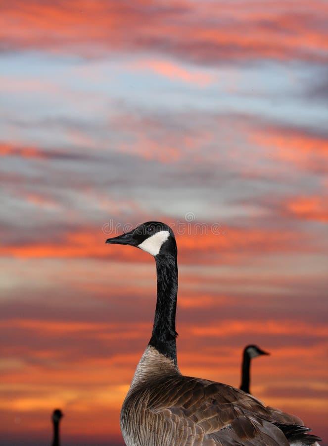 Download Oche al tramonto fotografia stock. Immagine di esterno - 3125892