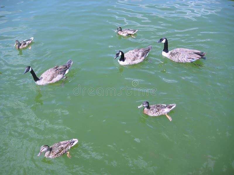 Oche canadesi che nuotano fra le anatre sull'acqua verde del lago fotografia stock