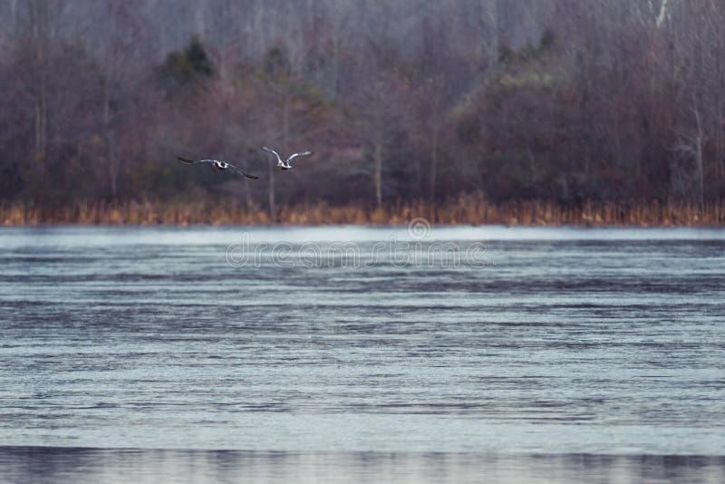 Oche canadesi che sorvolano la superficie congelata del lago nell'inverno fotografia stock