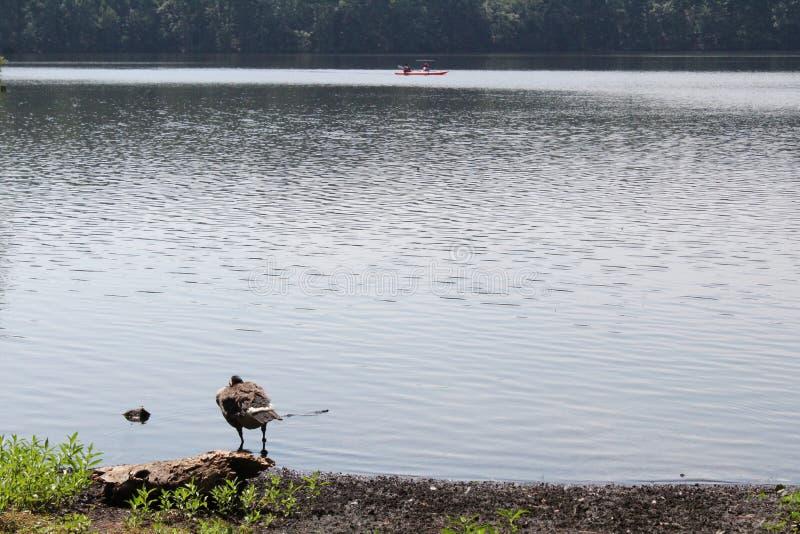 Oche che stanno in acqua vicino al bordo del lago immagine stock