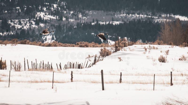Oche che volano attraverso il campo del paese fotografie stock