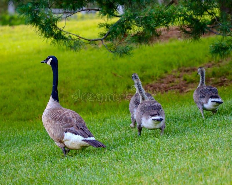 Oche del Canada che camminano insieme sull'erba verde nel sole t di pomeriggio fotografie stock