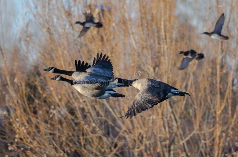 Oche del Canada che volano in basso sopra Autumn Wetlands immagine stock libera da diritti