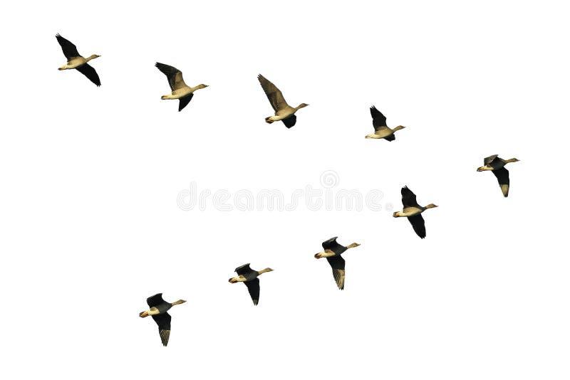 Oche del fagiolo in volo fotografie stock libere da diritti