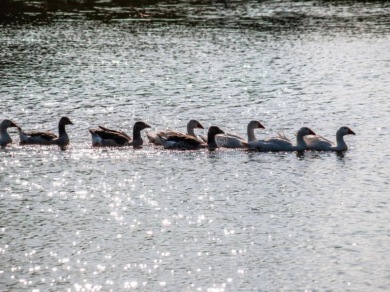 Oche domestiche che galleggiano sull'acqua dello stagno, illuminata dal sole immagine stock libera da diritti