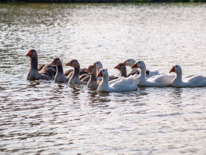 Oche domestiche che galleggiano sull'acqua dello stagno, illuminata dal sole fotografie stock libere da diritti