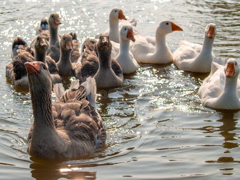 Oche domestiche che galleggiano sull'acqua dello stagno, illuminata dal sole fotografia stock