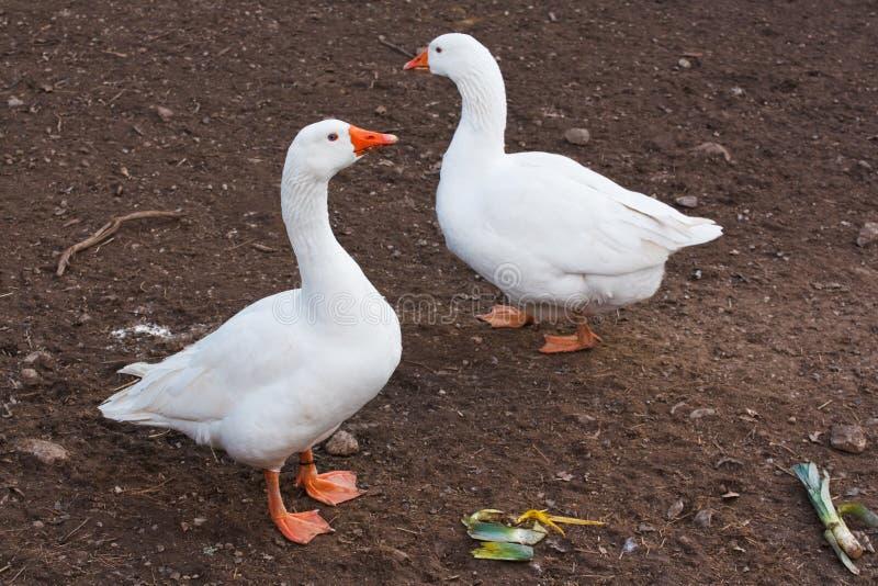 Oche domestiche di bianco degli animali da allevamento immagini stock