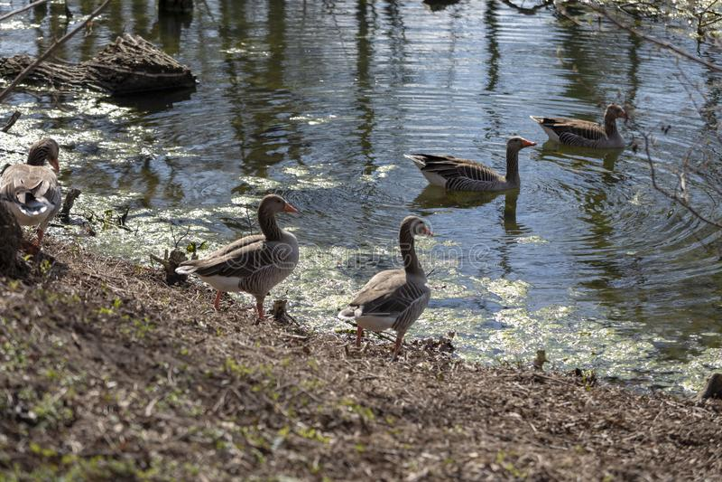 Oche grige selvagge che camminano sull'erba vicino da un piccolo fiume immagini stock