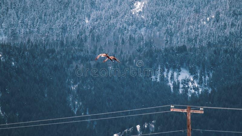 Oche Mates Fly Near Snowy Mountain fotografia stock