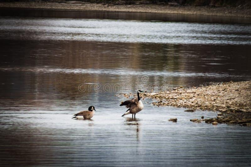 Oche Mates Relaxing in acqua bassa immagine stock