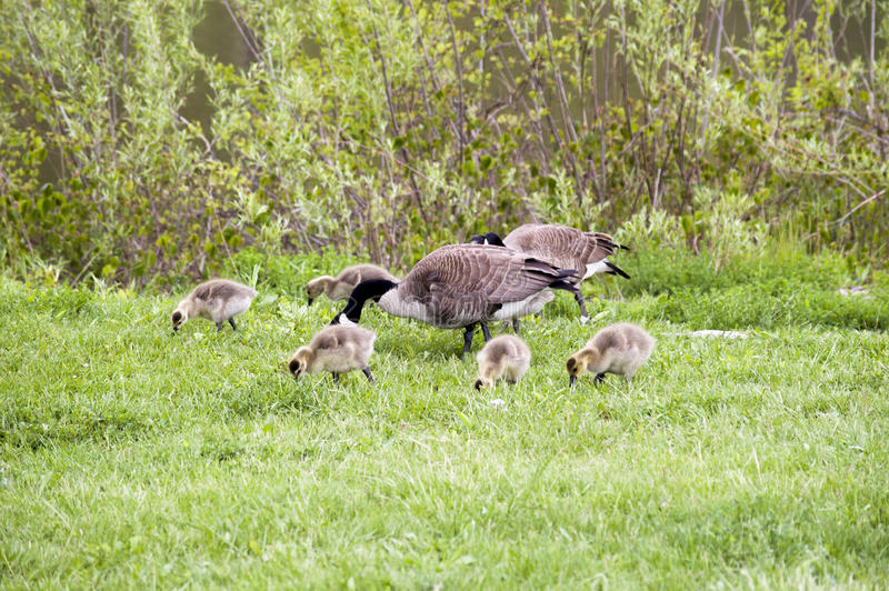 Oche selvatiche nel fiume di Des Plaines e di Forest Preserves di Illinois U.S.A. fotografie stock libere da diritti
