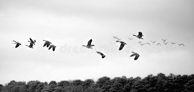Oche in volo sulla riva orientale del ` s di Maryland fotografia stock libera da diritti
