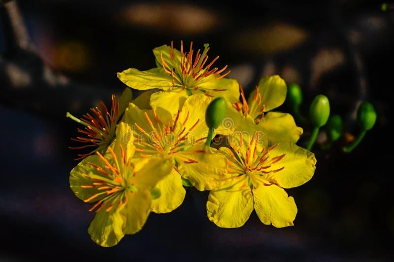 Ochna integerrima Blumen zur Frühlingszeit lizenzfreies stockfoto