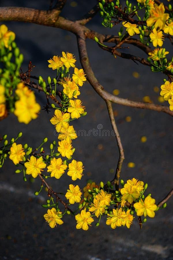 Ochna integerrima Blumen zur Frühlingszeit lizenzfreie stockbilder