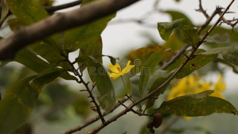 Ochna Integerrima op Tak - Hoa-MAI Mai Flower stock foto's