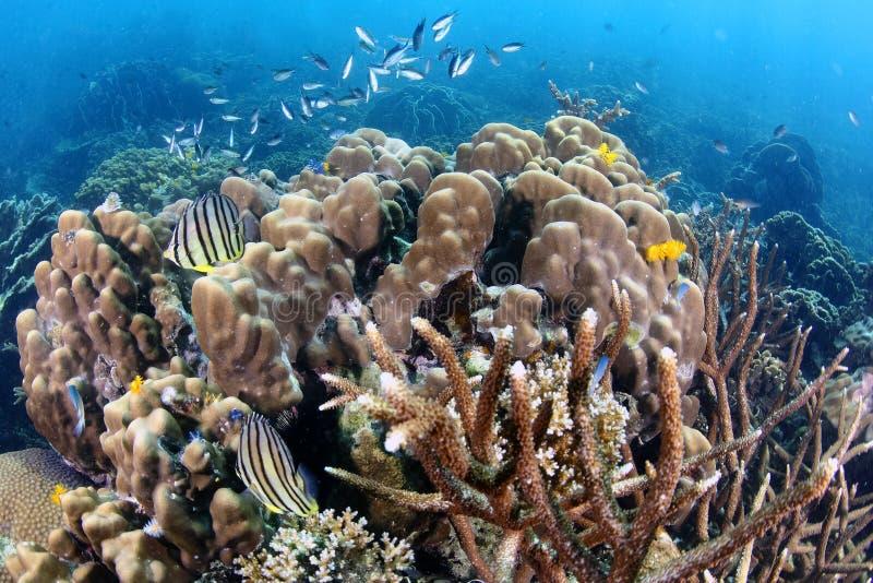 Ocho pescados congregados tropicales de los Butterflyfish en Coral Reef foto de archivo