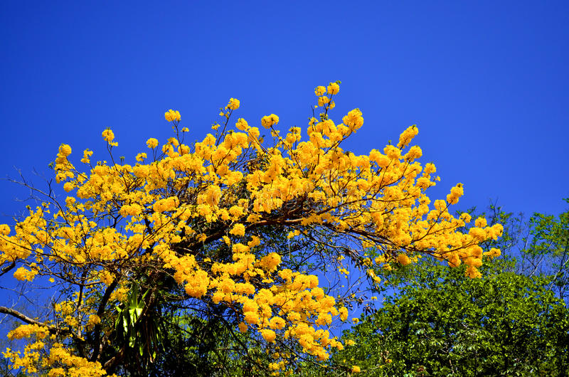 ochracea de tabebuia arbre jaune de fleurs photo stock image du fleurs rica 72086320. Black Bedroom Furniture Sets. Home Design Ideas