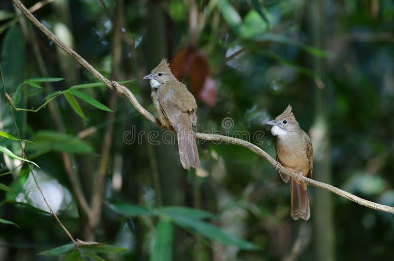 Ochraceus d'Alophoixus d'oiseau de Bulbul d'Ochraceous images libres de droits