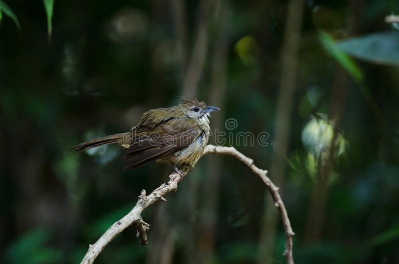 Ochraceus d'Alophoixus d'oiseau de Bulbul d'Ochraceous image stock