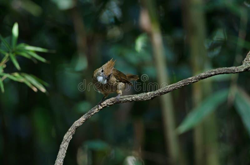 Ochraceus d'Alophoixus d'oiseau de Bulbul d'Ochraceous photos libres de droits