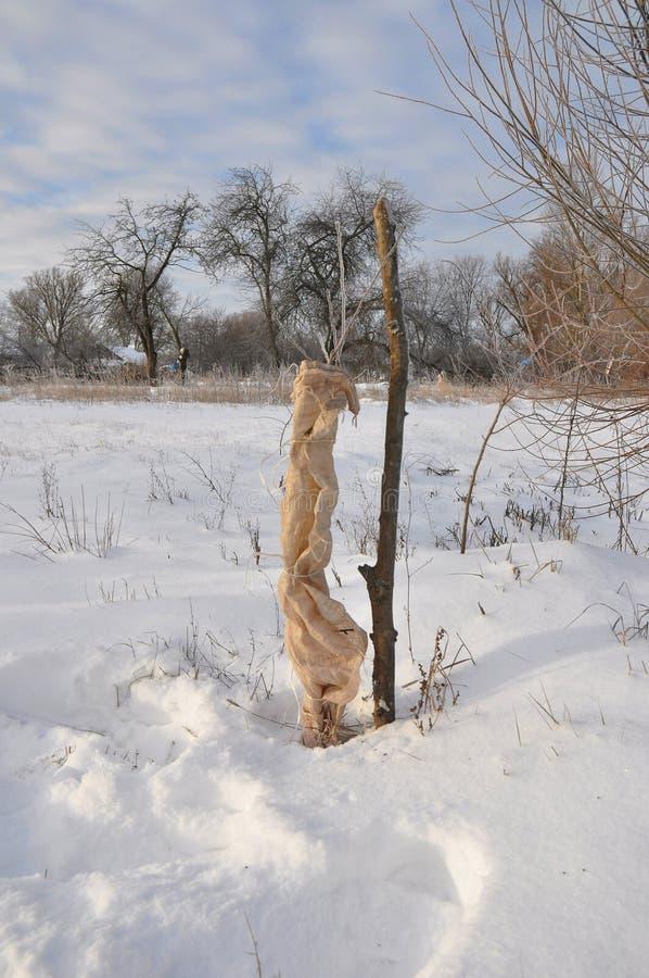 Ochraniać Owocowych drzewa od zwierzę szkody w zimie zdjęcie stock
