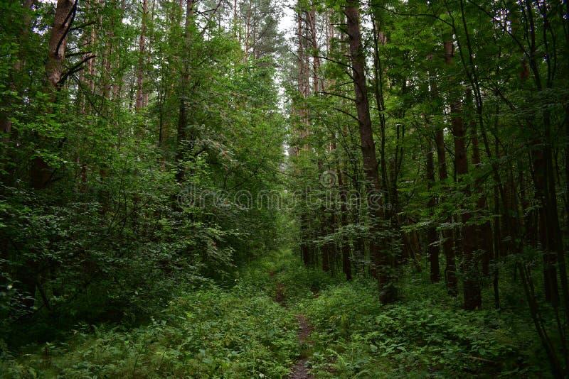 Ochraniający las set drzewa nad bezpośrednią ścieżką, cofa się w odległość, zielony puszysty dywan trawa zdjęcie royalty free