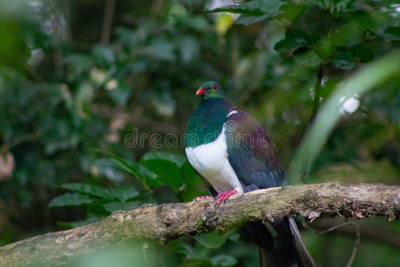 ochraniający ptak Nowa Zelandia Kereru gołąb zdjęcia stock