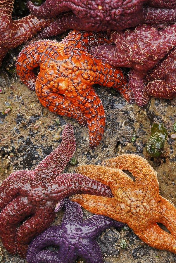 ochre αστέρια θάλασσας στοκ εικόνες με δικαίωμα ελεύθερης χρήσης