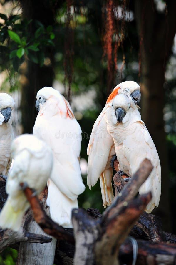 Ochrocephala del Amazona immagini stock libere da diritti