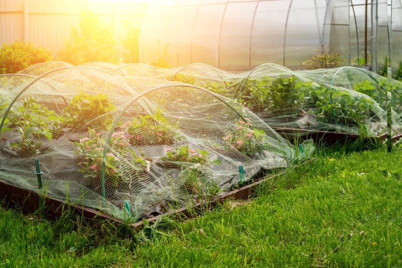 Ochrona żniwo dojrzała czerwona truskawki siatka na łukach w ogródzie w ogródzie zdjęcia stock