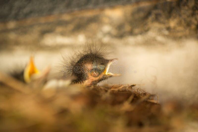 Ochruros del Phoenicurus Piccolo uccello In espansione in tutto Europa e l'Asia Natura libera fotografia stock libera da diritti