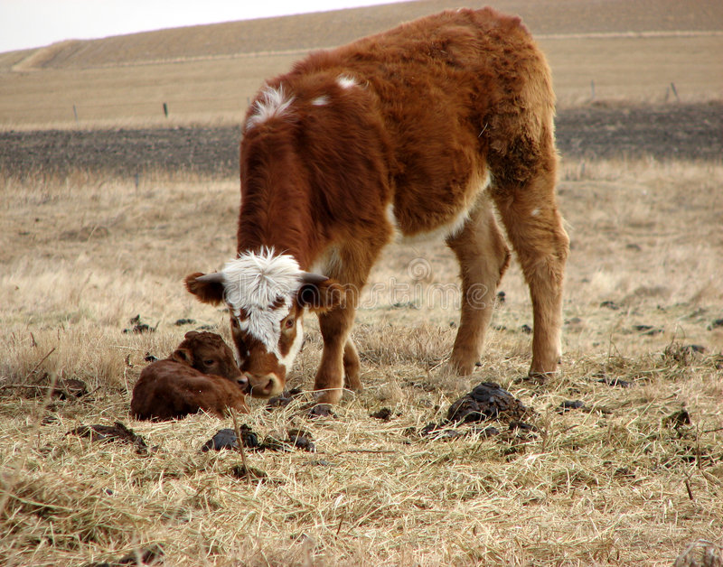 Ochse mit neugeborenem Kalb lizenzfreie stockfotos