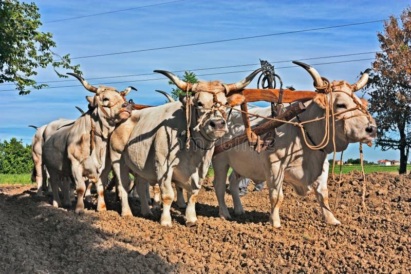 Ochsen, die den Pflug ziehen lizenzfreies stockbild
