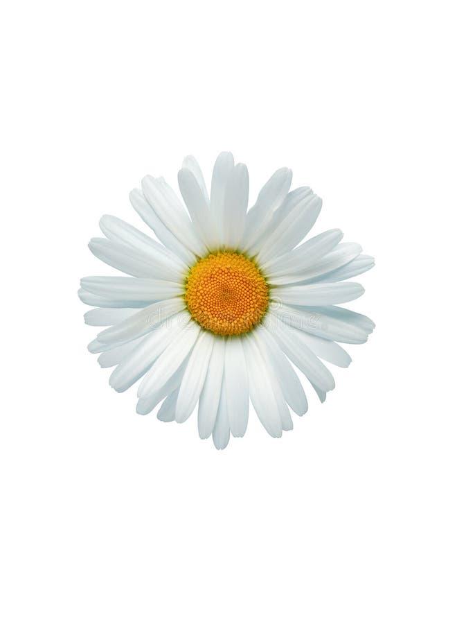 Ochsenauge-Gänseblümchen im Weiß stockfotos
