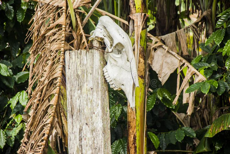 Ochsenkopf gehangen stockfoto