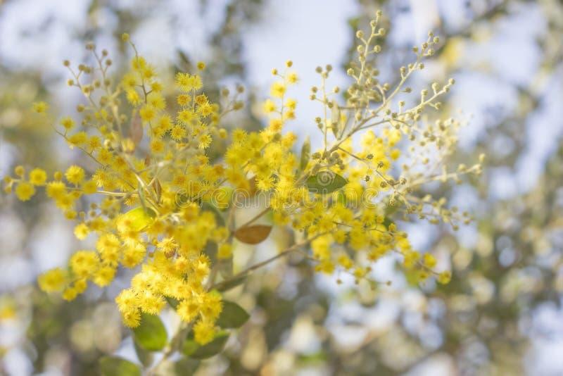 Ochtend in Australië met gouden acacia stock foto
