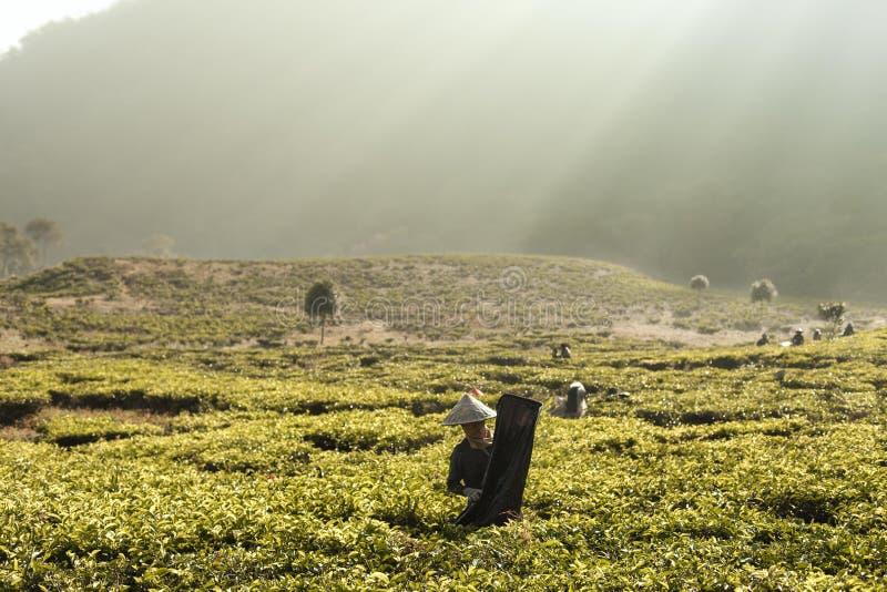 Ochtend bij theeaanplanting stock afbeelding