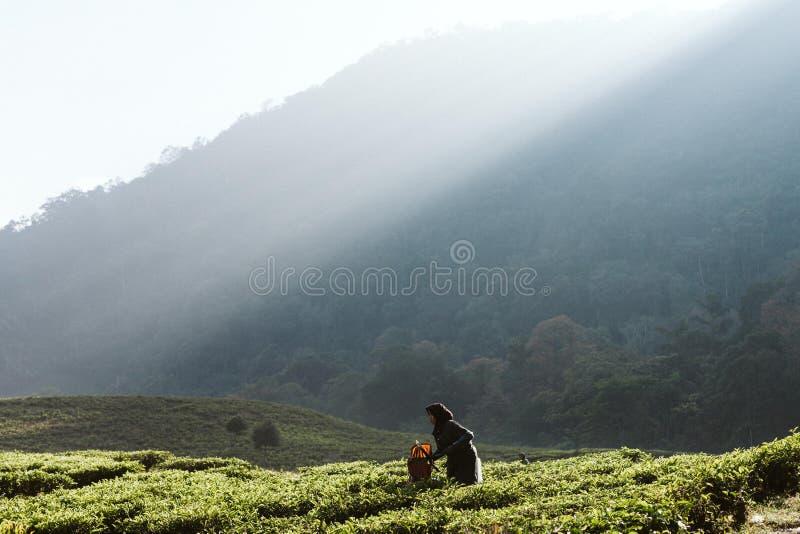 Ochtend bij theeaanplanting stock foto's