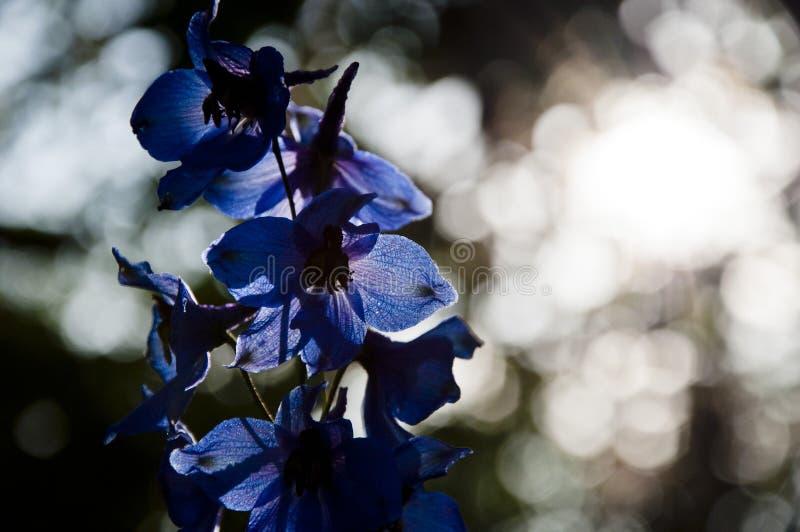Ochtend E De lentebloei Aardmilieu, ecologie De kaars van de ridderspoorbloem Ridderspoorbloem het bloeien royalty-vrije stock afbeeldingen