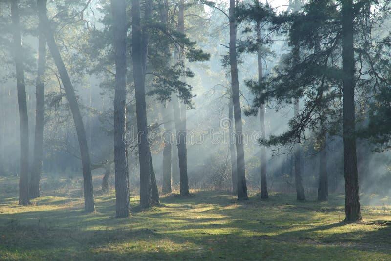 Ochtend in het bos royalty-vrije stock afbeeldingen