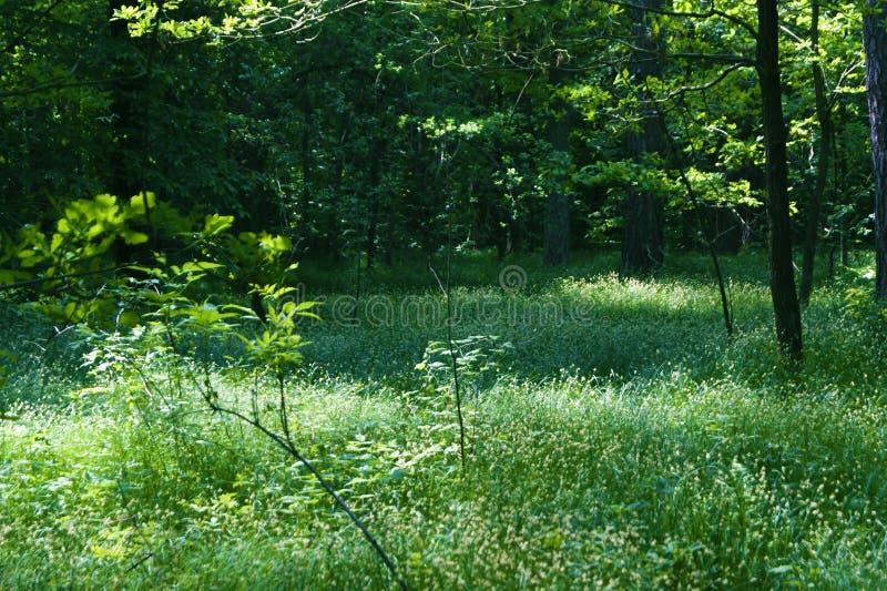 Ochtend in het de lentebos royalty-vrije stock foto's