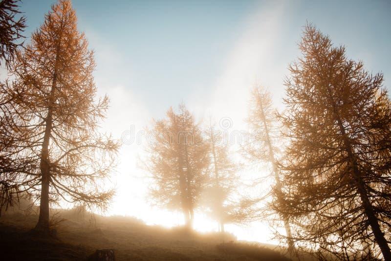 Ochtend mistige stemmingen in de bomen van de de herfstlariks royalty-vrije stock foto's