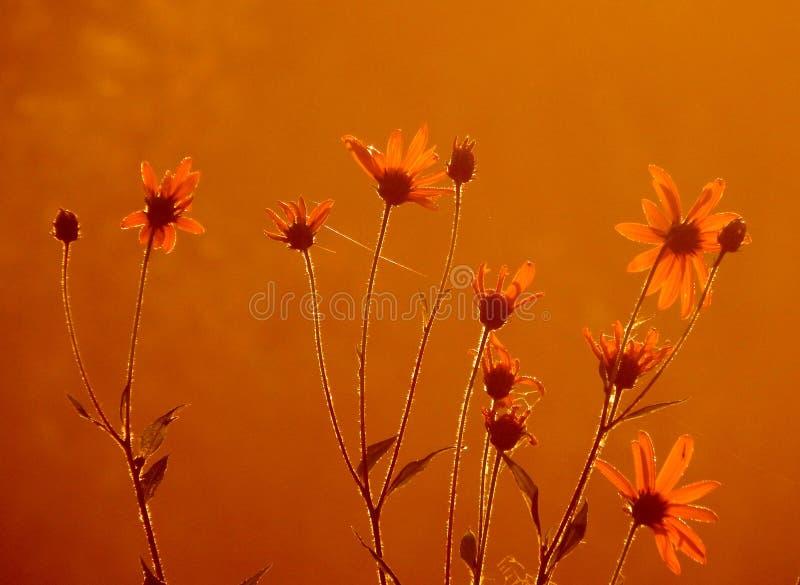 Ochtend Weidebloemen bij dageraad stock fotografie