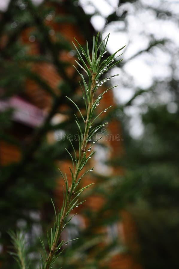 Ochtenddauw op nette naalden na regen royalty-vrije stock foto's