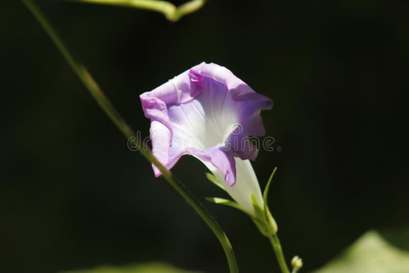 Ochtendglorie die onder de zon tot bloei komen stock foto