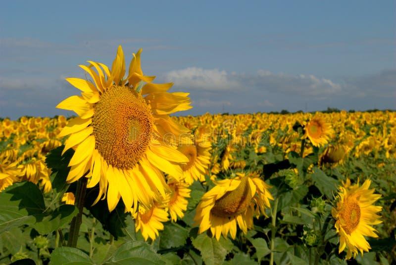 Ochtendmening van een close-up van een bloeiende zonnebloem, tegen de achtergrond van een geel gebied en een blauwe hemel stock afbeelding