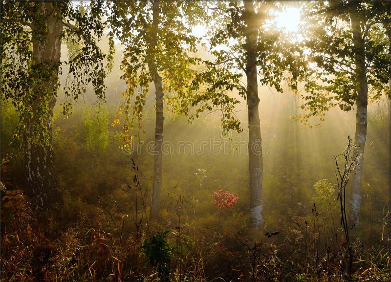 Ochtendmist in het bos met mooie zonstralen stock fotografie